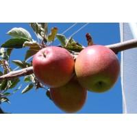 Яблоня «Пинк Леди»